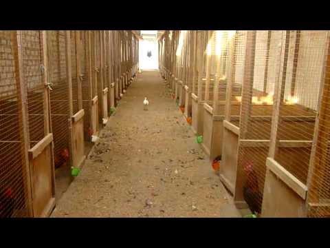 Criadero de gallos de pelea galpon stefano 2010 2011 for Como hacer un criadero de carpas