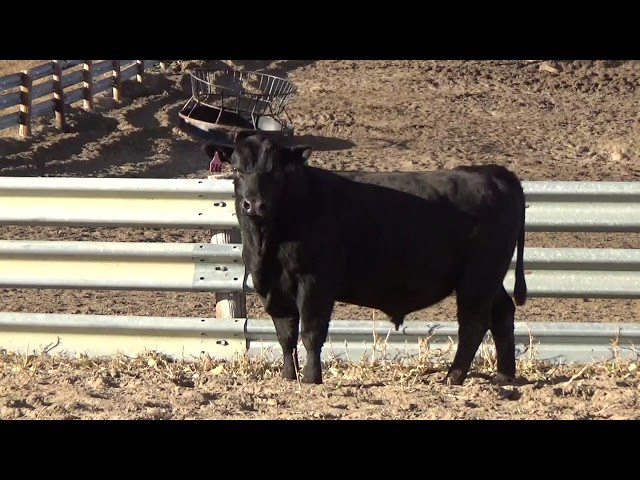 Connealy Angus Lot 246