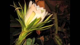 Time Lapse. Night blooming cereus. Queen of the Night. Israel
