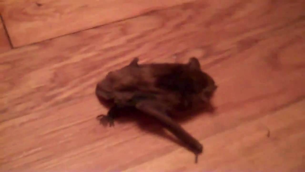 How To Get A Bat Out Of House Or Building Humanly And Safely See Close Up