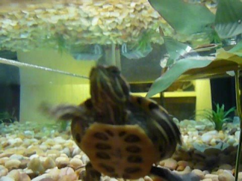 Food For Red Eared Slider Baby Turtles