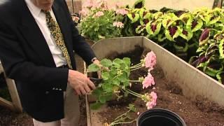 Storing geraniums