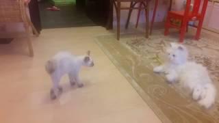 меконгский бобтейл и игрушечная кошка