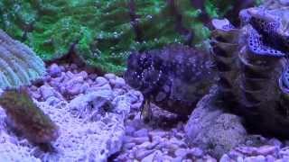 Salarias fasciatus - Jewelled Blenny