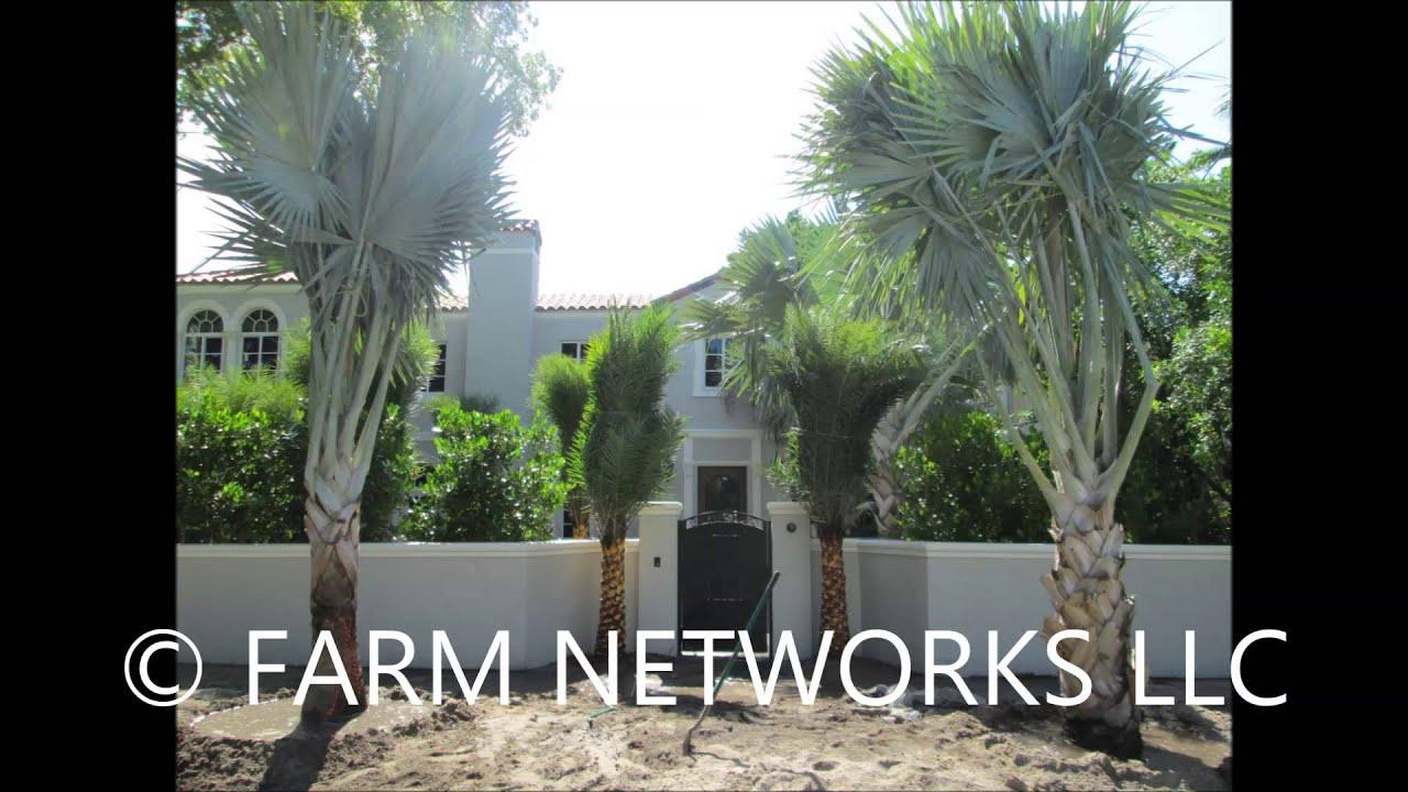 Bismarck Palms Broward Nursery - (786).255.2832 - We Deliver - YouTube