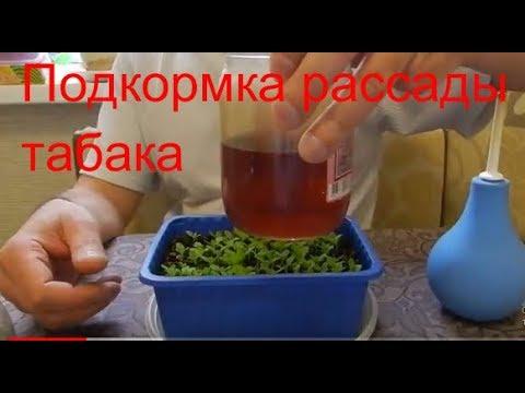 Вопрос: Как часто поливать рассаду табака?