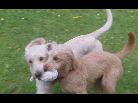 Labradoodle puppy STARS   Marley & Molly at A & B Dogs Boarding & Training Kennels.