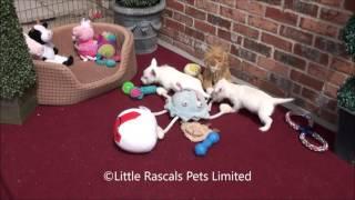 Little Rascals West Highland Terrier Puppies