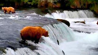 Дикая природа Аляски Бурые медведи ловят лосося в водопадах реки Брукс Рыбы хватило всем. Ч 1(СМОТРЕТЬ В ПРЯМОМ ЭФИРЕ ПОТОКОВОЕ ВИДЕО из КАТМАЙ АЛЯСКА США ВЕБКАМЕРА, расположенная у знаменитых водопад..., 2015-03-06T17:11:25.000Z)