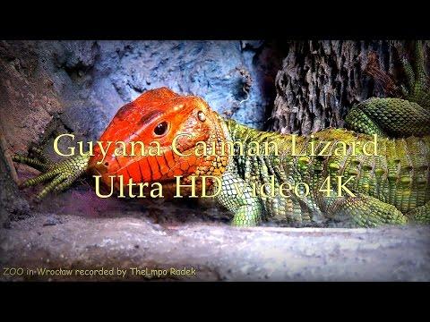 Guyana Caiman Lizard - Teju Krokodylowe - ZOO in Wrocław - Ultra HD video 4K