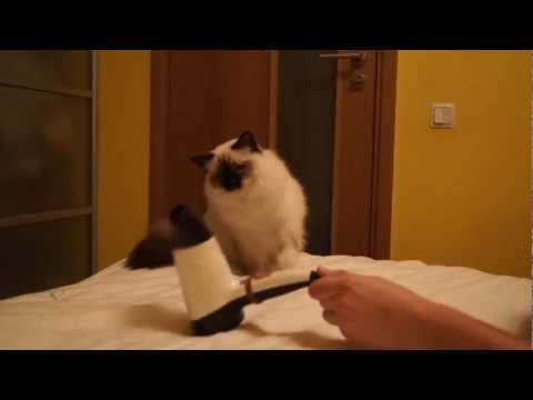 Birman cat boxing with hairdryer in HD