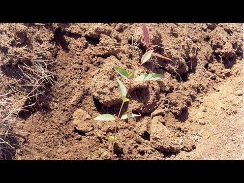 Curso Cultivo de Eucalipto - Plantio do Eucalipto
