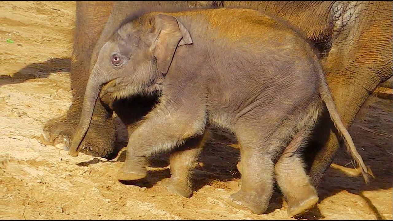 asiatische elefanten erlebniszoo hannover youtube. Black Bedroom Furniture Sets. Home Design Ideas