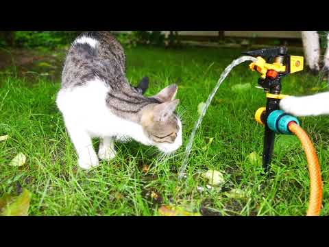 Thirsty cats are thirsty