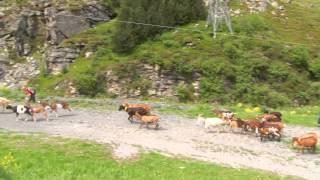 La Montée en Alpage 2013 : chez Pépé Nicolas