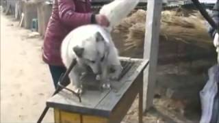 Torturing and killing animals in Chinese farms- YouTube