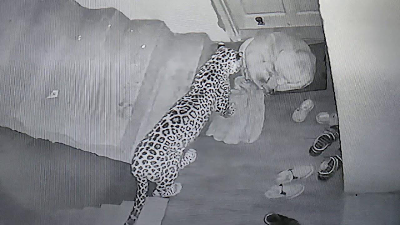 Leopard attack dog at my Home.Shanan,Sanjauli, Shimla (Original )