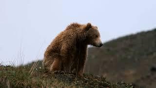 Cosmos: Natural Selection in Bears thumbnail