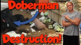 Simple Tricks for Eliminating Separation Anxiety in Your Doberman