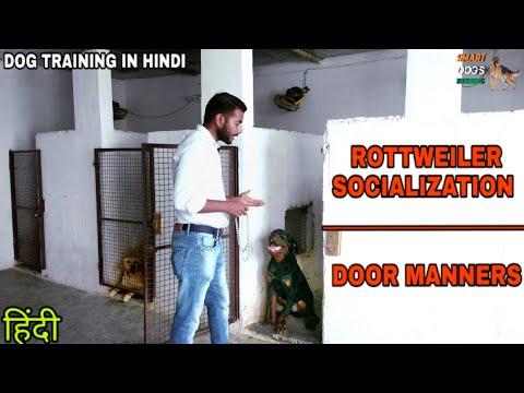 Rottweiler Socialization Training – Day 2 || Dog Training in Hindi