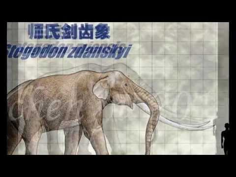 Proboscidea: evolution of elephants (pliocene and pleistocene): Stegodon