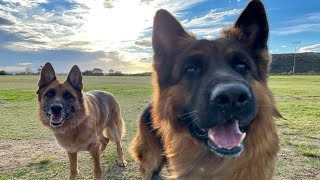 The Diary of German Shepherds 13