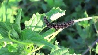 Огромная стая чорных гусениц A huge flock of black caterpillars(, 2015-12-22T23:11:12.000Z)