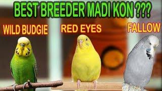 BEST BREEDER MADI KONSI HAI | BLACK EYES BUDGIE, RED EYES OR FALLOW | URDU/HINDI