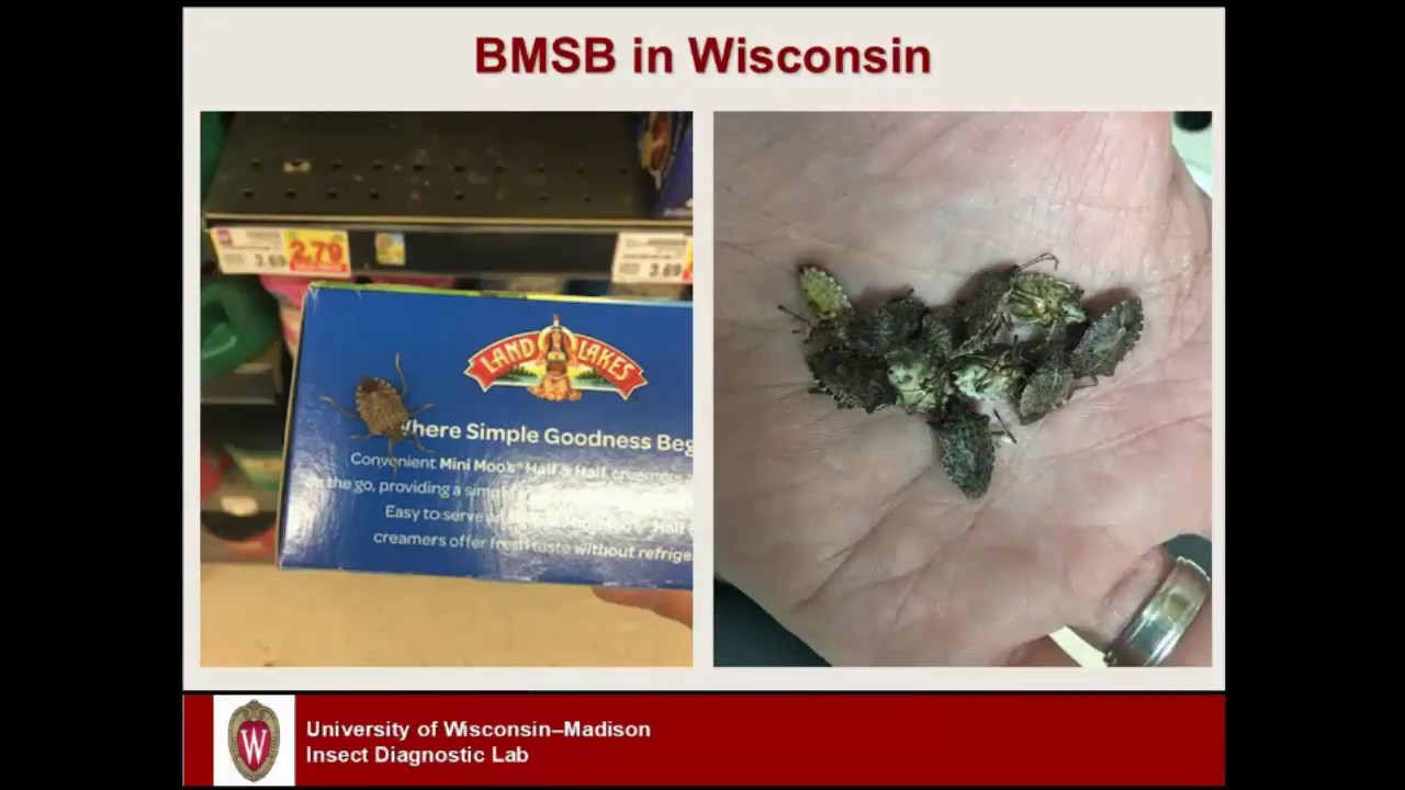 UW-EXTENSION: Watch out for the stinking stink bug!