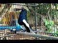 Terapi Burung Kacer Malas Bunyi  Mp3 - Mp4 Download