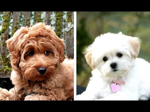 Top 10 Poodle Mixes That Stay Small
