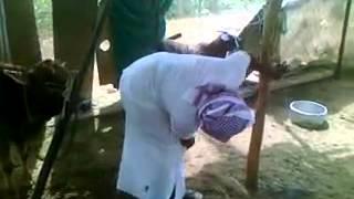 Buffalo Sex Attack Man Funny Video