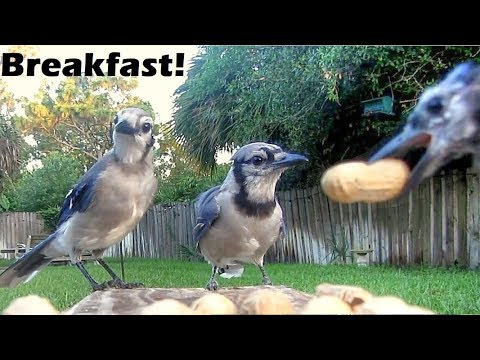 Blue Jay Breakfast Feeding Frenzy