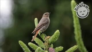 Bílý Šum cz - Ptačí zpěv, relaxační zvuk #30