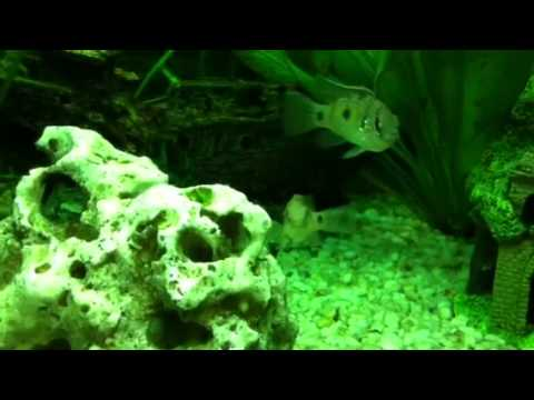 barsch frisst schnecke im aquarium youtube. Black Bedroom Furniture Sets. Home Design Ideas