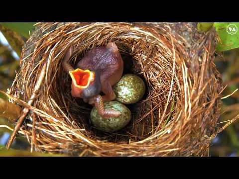 """Động vật P9 - Tu Hú loài chim """"cơ hội"""" và độc ác từ trong trứng"""