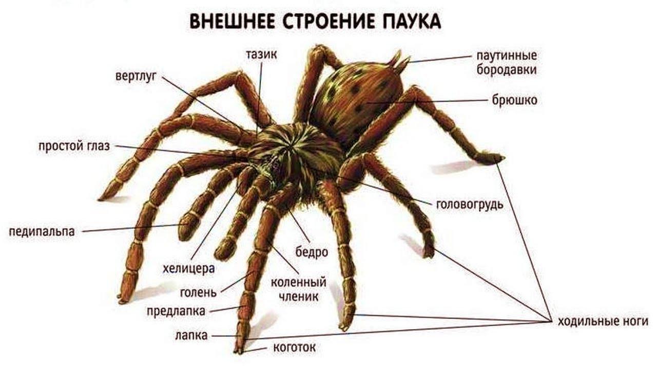 Ядовитые пауки и насекомые (рассказывает Тимофей Баженов)