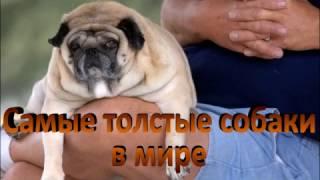 САМЫЕ ТОЛСТЫЕ В МИРЕ!!!   Толстые и милые собаки The thickest and funny dog