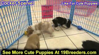 Cocker Spaniel, Puppies, For, Sale, In, Gresham, Oregon, County, Or, Multnomah, Washington, Clackama