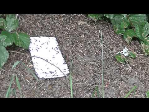 Jak poradzić sobie gdy zabraknie leków - mrówki