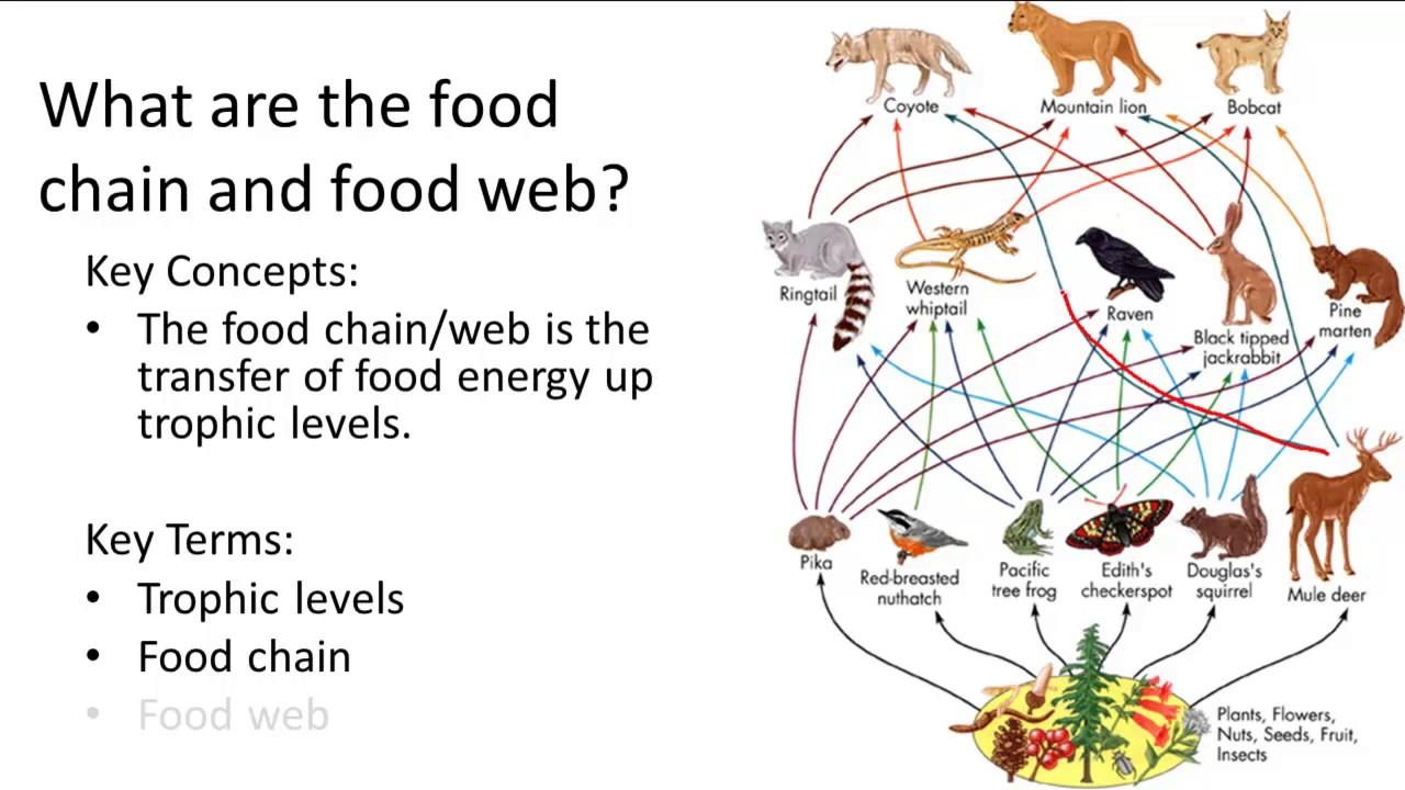 Food chain and food web doc