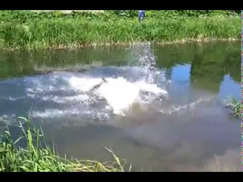 KNPV Swim across a canal 15 meters wide.Tommy BRN 21444