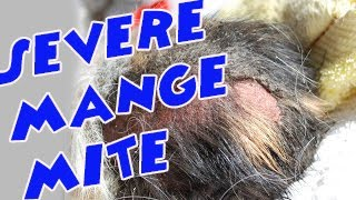 Guinea pig rescue  - Ashley dumped mange and neglected