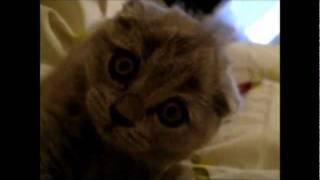 Шотландский котенок, голубой вислоухий