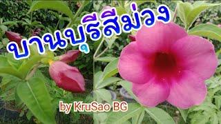 บานบุรีสีม่วง by KruSao BG