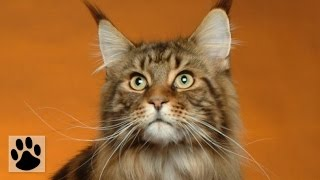 Породы кошек - Мейн-кун. [Maine Coon (Cat Breed)]