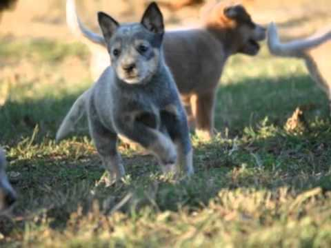 Blue Heelers For Sale : Red and blue heeler puppies for sale christmas 2011 youtube