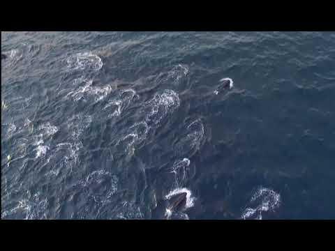 Pilot whales - Faroe Islands 2017