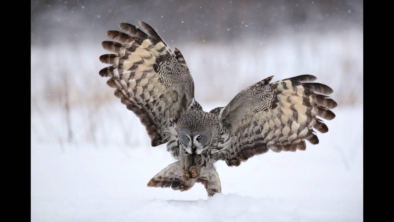 Winter Animal Wallpaper Great Grey Owl Flight Youtube