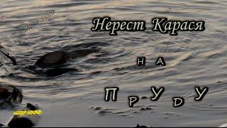 Нерест карася на пруду(, 2015-05-23T12:58:32.000Z)